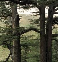 【上帝的教会】黎巴嫩的香柏树
